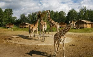 vakdag vakantiepark van de toekomst safari resort beekse bergen giraffes