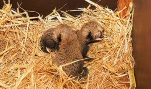Safaripark Beekse Bergen - Cheeta tweeling geboren